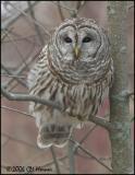 1038 Barred Owl.jpg