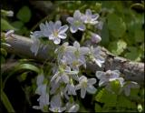 2583 Spring Beauty.jpg