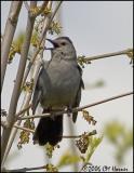 2875 Gray Catbird.jpg