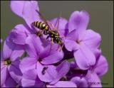 3441 European Paper Wasp and Beetles.jpg