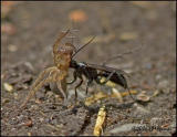 3694 Spider Wasp with Spider.jpg
