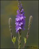 4136 Hoary Vervain cropped.jpg