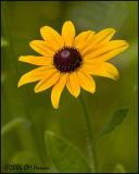 4164 Black-eyed Susan.jpg
