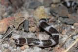 Juvenile Bandy-Bandy, Vermicella annulata R0014263
