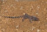 Bynoe's Gecko, Heteronotia binoeiIMG_0848