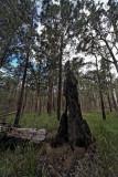 Burnt out rose gum,  Eucalyptus grandis  IMG_0612
