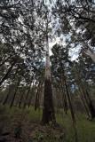 Rose gum,  Eucalyptus grandis  IMG_0621