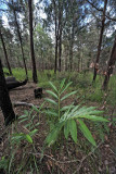 Native ginger in wet sclerophyll forest (site 3) IMG_0623