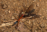 Ant carrying march flyIMG_0714