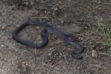 Small-eyed snakeIMG_0778