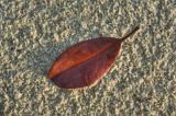 leaf on beach, after rain_DSC3585
