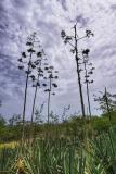 flowering agave _DSC1869