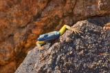 Blue-headed lizard _DSC1483