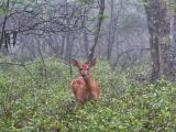 fawn in mist  DSCN0301