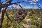 Banksia after a bushfire _DSC7046