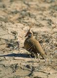 Spinifex pigeon u002334