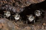 Australian native stingless bees (DSC_9651)
