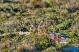Meerkat family _DSC1234