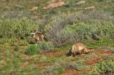 Bat-eared foxes _DSC1121