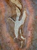 Eucalyptus barkCRW_1971