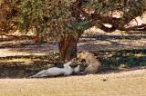 Two lionesses _DSC1817