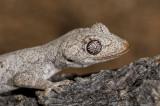 Gecko Strophurus krysalis head and shoulders DSC2462