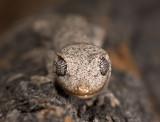 gecko Strophurus krysalis head on_DSC2465