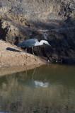 White-necked heron _DSC1862