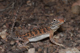 Young central netted dragon Ctenophorus nuchalis R0013521