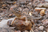 Young central netted dragon Ctenophorus nuchalis R0013576