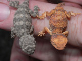 Two hatchling earless dragons Tympanocryptis tetraporophora and T. cephalus R0013634