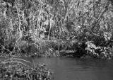 Incomati crocodile