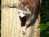 Curious George, the Racoon!