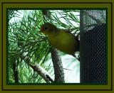Yellow Finch!