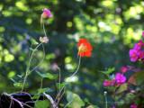 Nasturium and Begonias