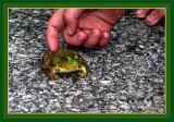 Biggest-Littliest-Longest Jumping Frogs Contest