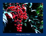 Boughs of Nandina Berries