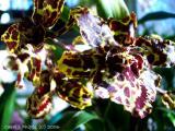 Calmanara Wildcat Orchid.JPG