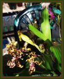 Orchid Gallery Calaminara Wildcat.JPG