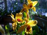 Gold Digger Orchid.