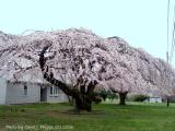 A Marvel to See these Trees in Bloom.