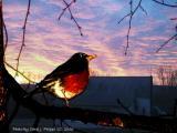 A Robin Enjoying a Spring Sunrise.