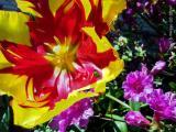 Seven-Inch Tulip and Azelya.JPG