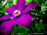 Clematis at Madison Indiana Winery Gardens (USA)