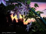 Clematis Sunset.JPG
