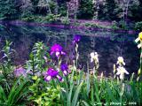 Irises by the Sea!