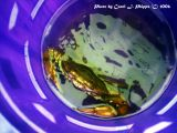 Lil Green Crab in Blue Bucket.JPG