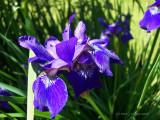 Edna's Iris.