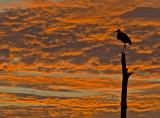 Great Blue Heron-Sunrise at Viera