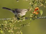 Mockingbird with Wild Balsam Apple  8229
